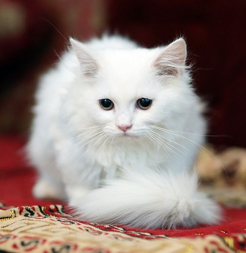 ستار ذكر مون فيس شيرازي امريكي تم البيع Cat Love I Love Cats Cats