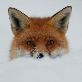 peekin' fox