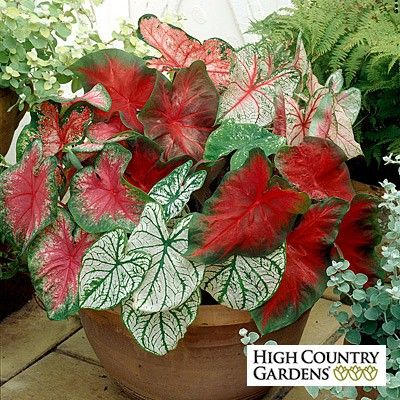 Caladium Mix (Elephant Ear) provides a blend of five different varieties that will brighten the shady and partially shaded areas of your landscape with colorful foliage.