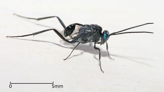 'Evania appendigaster' es un insecto del orden de las avispas, que actúa de exterminador natural contra las cucarachas. ¡Parasita sus huevos!