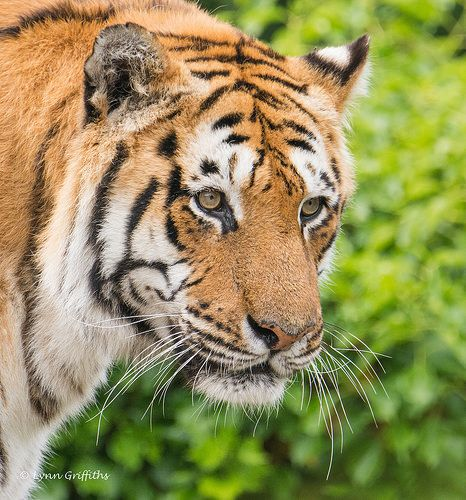 Tiger - close up NIK_8919-107.jpg - http://www.1pic4u.com/tierbilder/tiger/tiger-close-up-nik_8919-107-jpg/