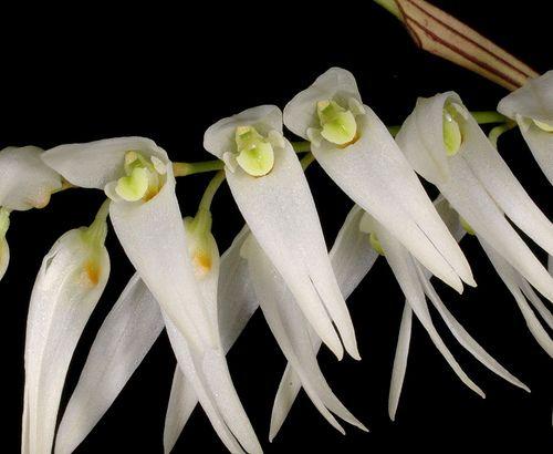 Trichosalpinx robledorum