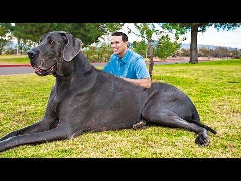 Abc De La Mar Menor Los 10 Perros Más Grandes Del Mundo Ropa Para Perros Grandes Imagenes De Perros Perros