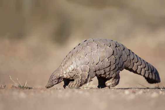 pangolin in Africa