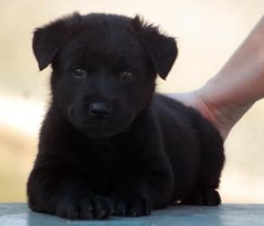 adopted fluffy lab mix puppy f is an black labrador