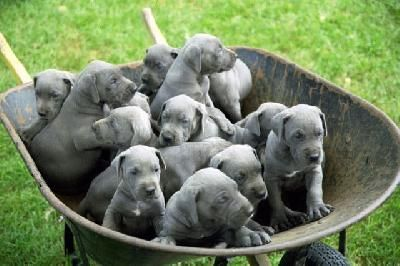 Barrel O' Danes :)  The ears they were born with........should stay that way.