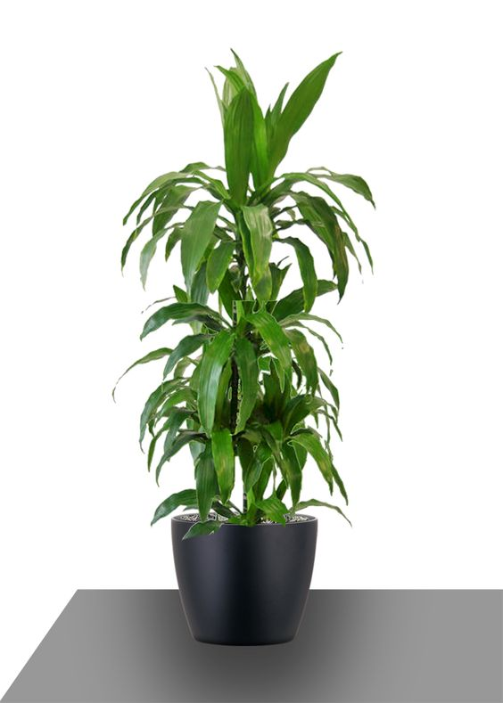 The Lisa Cane derives its elegance from its long, deep green strap-shaped #leaves. #landscaping #plants