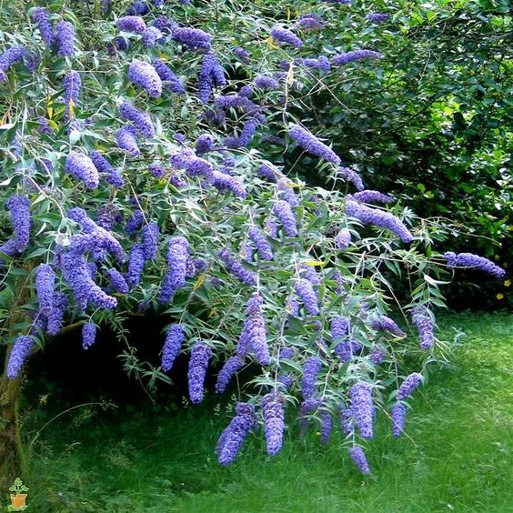 Dwarf Adonis Blue Butterfly Bushes for Sale   The Planting Tree