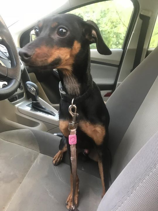 Is This Your Dog St Cloud Chihuahua Male Date Found 09 09 2018 Breed Of Dog Chihuahua Gender Male Closest Intersection Wil Dogs Losing A Dog Dog Ages