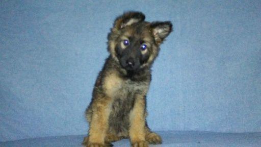 Litter Of 9 German Shepherd Dog Puppies For Sale In Logan Oh Adn