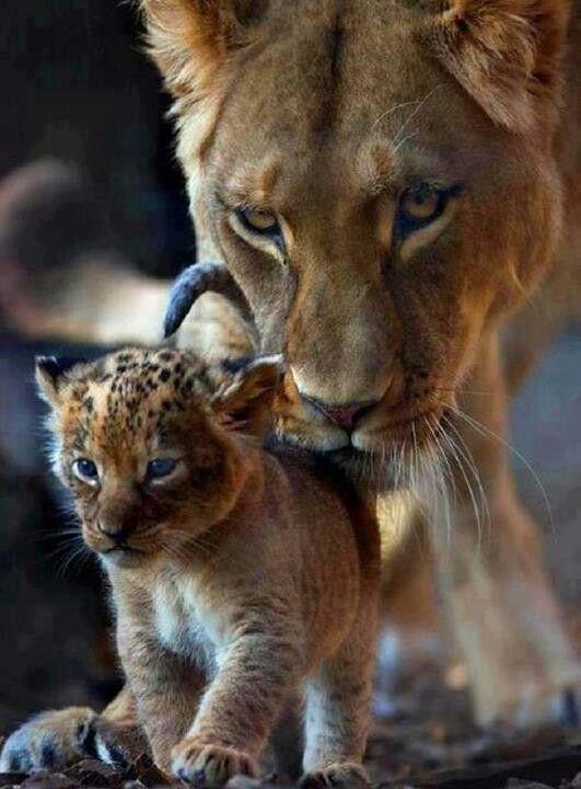 lioness beauty
