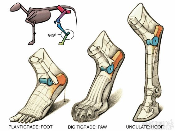 Animal Anatomy join us on http://pinterest.com/koztar/cg-anatomy-tutorials-for-artists/