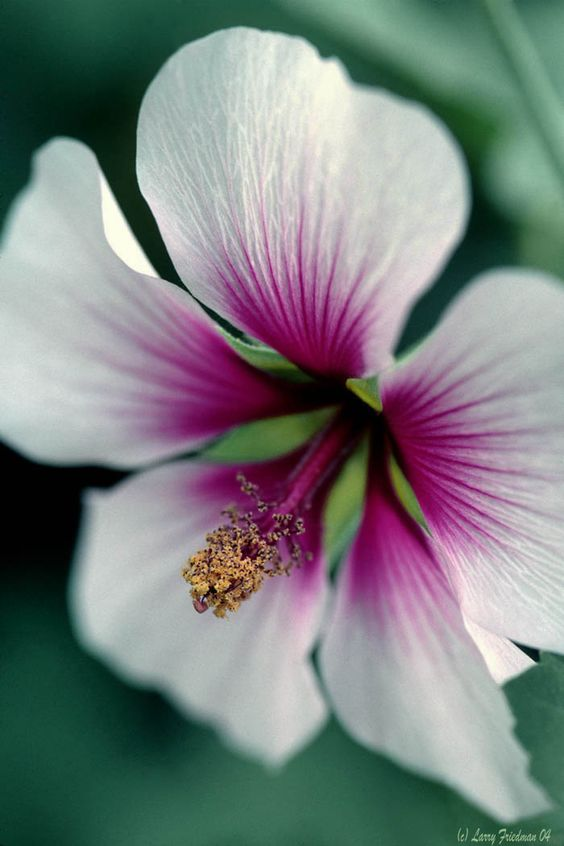 ~~Hibiscus by Larry Friedman~~