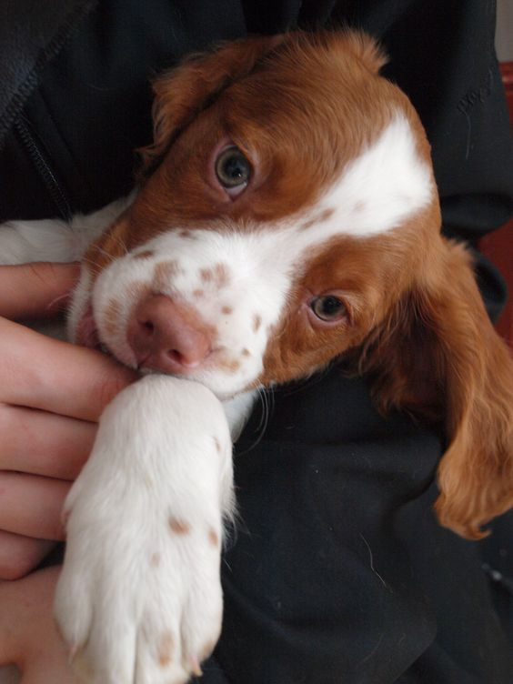 Brittany Spaniel Pup Classic Look Brittany Dog Dogs Brittany Spaniel Puppies