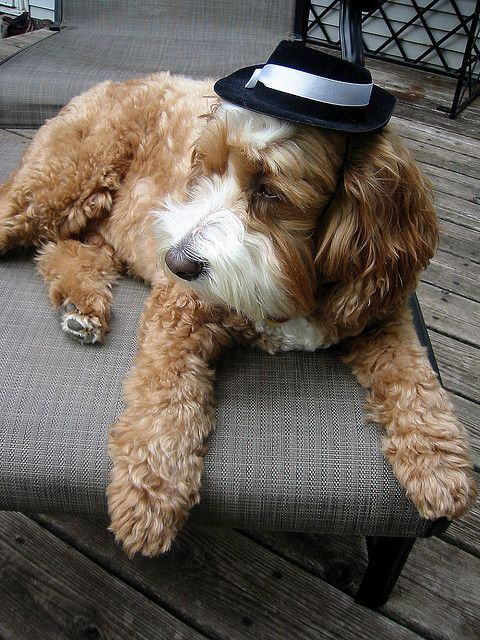 Harvey the Cockapoo Lounges on the Deck Sporting A Cool Hat by Angie Naron, via Flickr