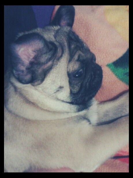 #PugLove Meu gorducho. *--*