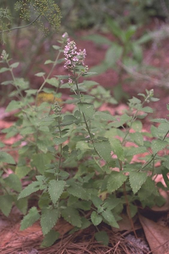Mosquito Repellent Plants ALMA Pinterest – Mosquito Repellent Plants for Your Garden