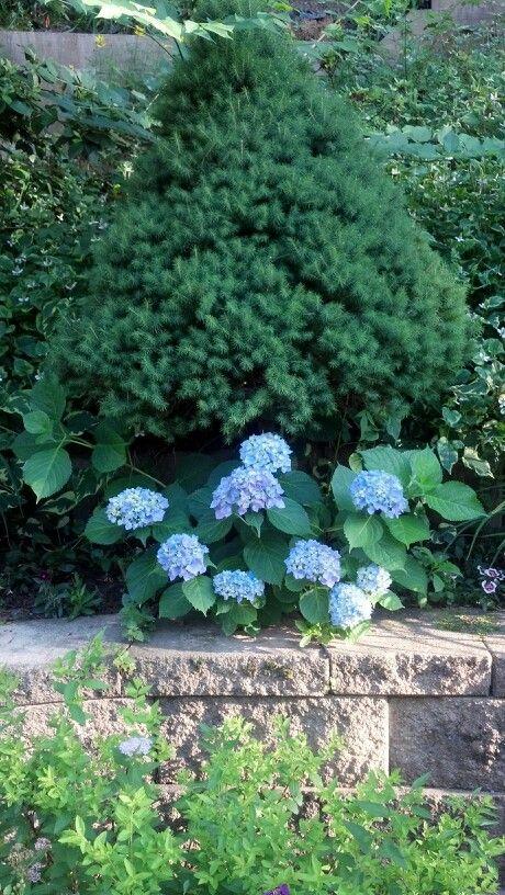 Planting Under Pine Trees Garden : Under planting of a blue hydrangea pine tree renee s wondrous garden