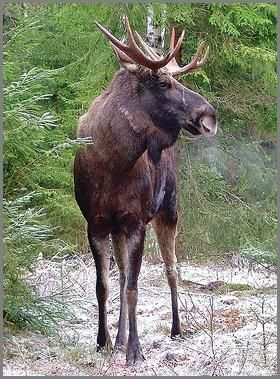 älg. What North Americans call a moose, Swedes call an elk.