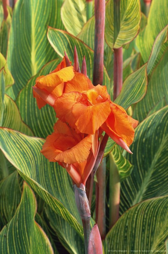 Image detail for -Canna Lily (Canna Striata) close-up of orange flower with stripy foliage in background