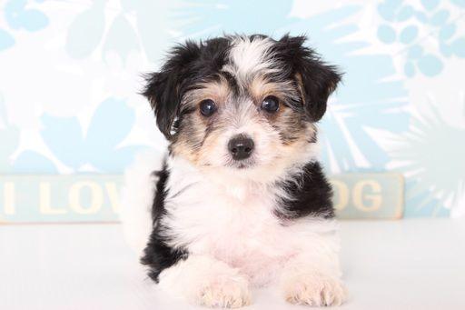 Pomsky Puppy For Sale In Lorton Va Adn 70057 On Puppyfinder Com