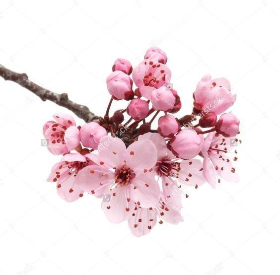 Pin By Victoria Downes On Flowers Cherry Blossom Art White Blossom Tree Flower Sketches