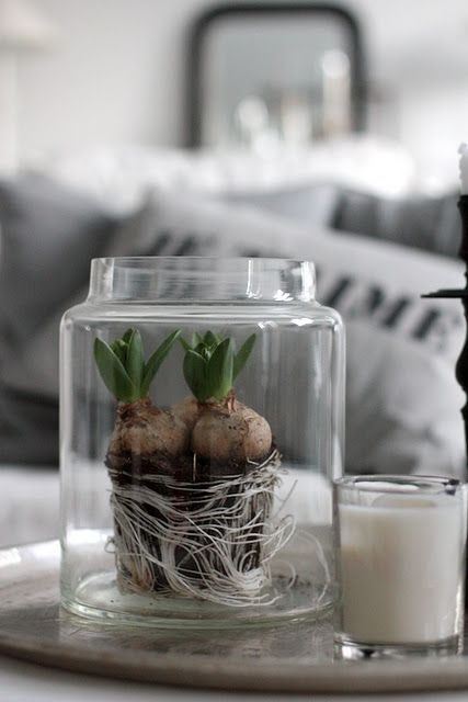 Forcing Hyacinths The Winter Jars And Spring