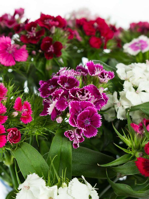 Rosa Bartnelken als Schnittblumen Saison im Mai, Juni und Juli  #schnittblumen #blumen #bartnelken #nelken