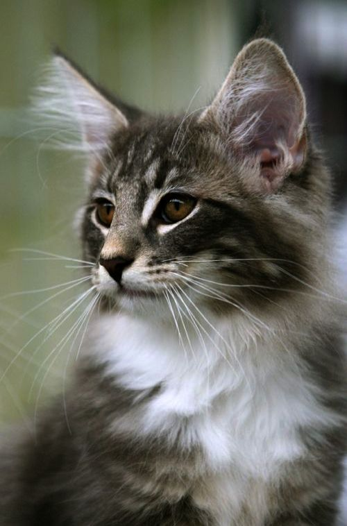 Pin Beautiful Cat Names And Meanings D Norwegian Forest Cat Beautiful Cats Cute Cats And Kittens