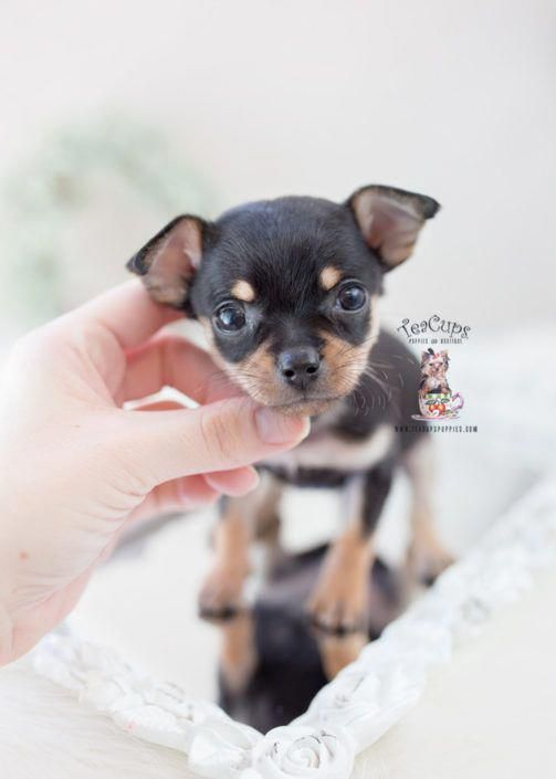 Black Tan Chihuahua Puppy For Sale Teacup Puppies 392