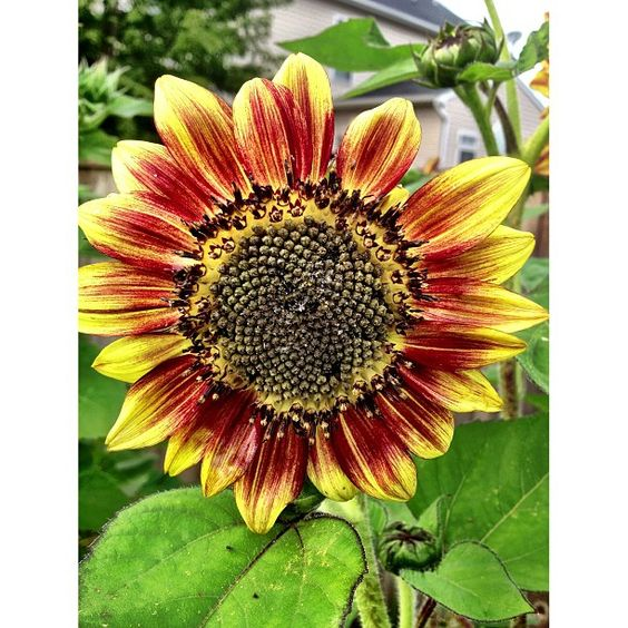 Multi color sunflowers