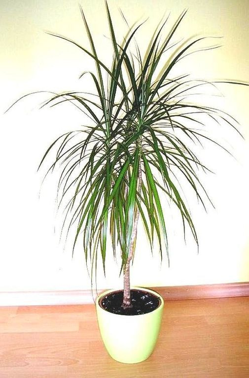 dracena dracaena marginata p stov n zahrada garden. Black Bedroom Furniture Sets. Home Design Ideas