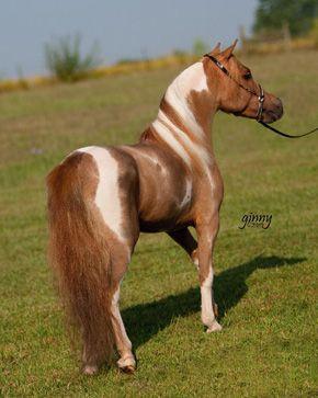 Iona Farm's Luck's Understudy, strawberry roan pinto Miniature Horse stallion.