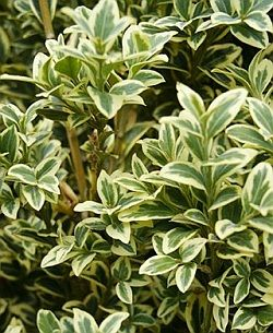Buxus sempervirens 'Aureovariegata' - English box