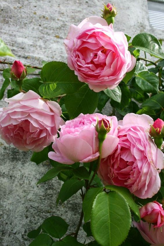 Constance Spry climbing roses.