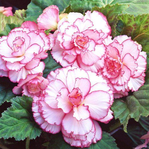 Pin On Begonia Flowers