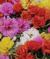 Portulaca aka moss rose.  Such pure color in a tiny plant.