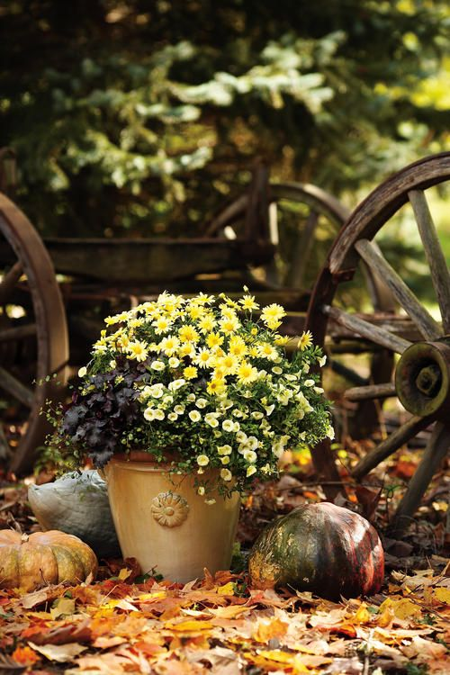 Argyranthemum Margeurite Daisy, Heuchera Coral Bells 'Licorice', Muehlenbeckia Creeping Wire Vine (Spiller), & Coral Bells 'Yellow Chiffon' - love this combination of two shades of yellow plus a deep purple/black + a little spilling vine.