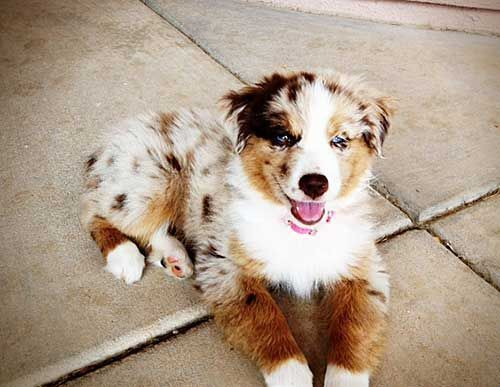 Australian Shepherd Golden Retriever Mix Google Search Retriever Welpen Australische Schaferhunde Aussie Welpen