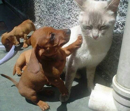 Dachshund Dogs And Cats Dachshunds And Cats Kitten Kittens Sausage