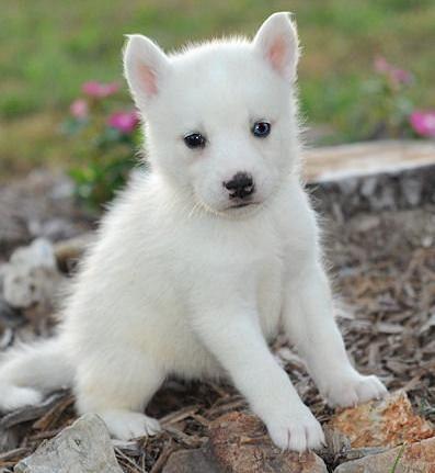 Pics For > White Baby Huskies