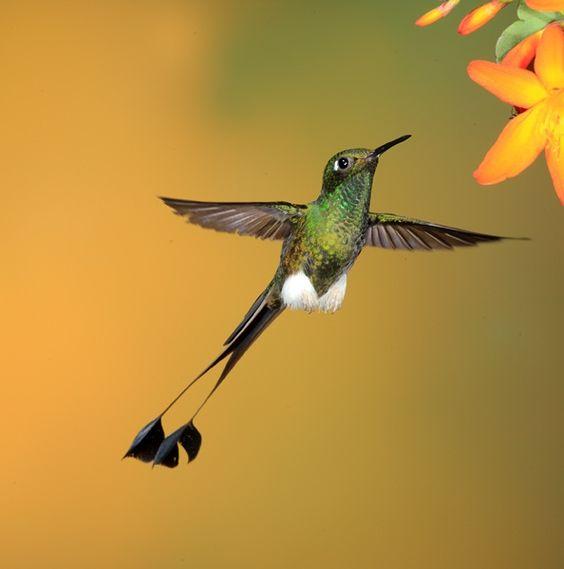 scissor tailed hummingbird | Booted Racket-tail Hummingbird