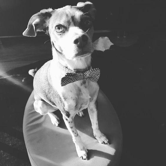 Friday funday #friday #tgif #fridayfunday #dogs #dogsofinstagram #ratterrier #terriersofinstagram #thatface #bestwoof #yyz #inthe6ix #instadog #instawoof #dogstagram #petstagram #pawpals #houndsbazaare #unleashed #urbandog #dogbowtie #rescuedog #rescue #adoptdontshop #savethemall by hoteldoggy