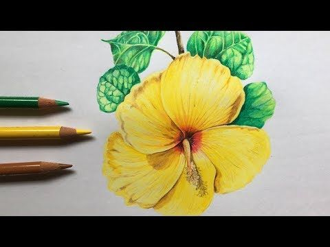 Hibiscus Flower Drawing In Color Pencils Flower Drawing Step By Step Youtube In 2020 Hibiscus Flower Drawing Flower Drawing Flower Sketches