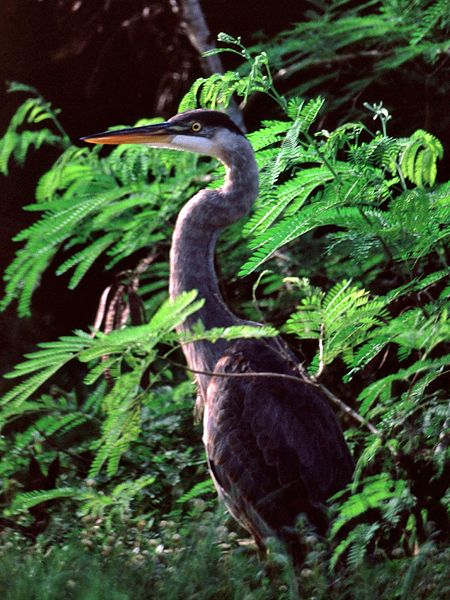 Kanadareiher (Great Blue Heron, Ardea herodias)
