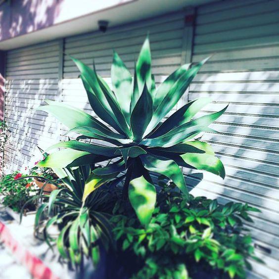 植物アプリの決定版 http://greensnap.jp  #植物好きと繋がりたい  #ボタニカル#ドライフラワー #多肉#多肉植物#多肉バカ同盟 #観葉植物 #ガーデニング #グリーンインテリア #園芸 #フラワー #花のある暮らし  #succulents #cactus#gardening #containergarden #flowerstagram #greenthumb #greenlife #containergarden #botanical#珍奇植物 #サボテン #ユーフォルビア #パキポディウム #根塊植物 #caudex