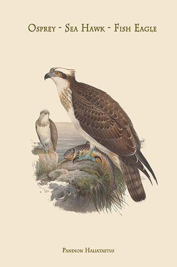 Pandion Haliataetus - Osprey - Sea Hawk - Fish Eagle