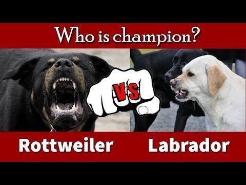 Golden Retriever Puppies Vs Labrador Puppies Rottweiler Vs