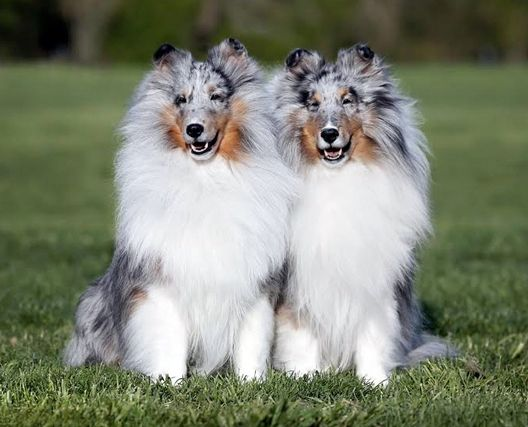 To Test Or Not To Test Sheltie Dogs Shetland Sheepdog Sheltie