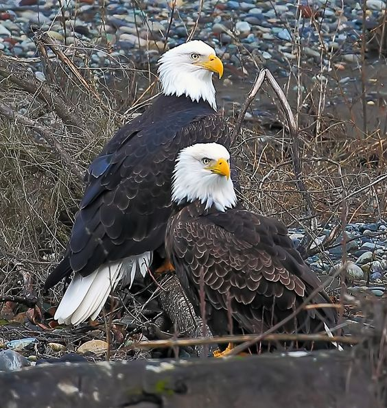 Eagles...we have two that spend the mornings perched on the island on the lake. We watch them from our deck during coffee time.